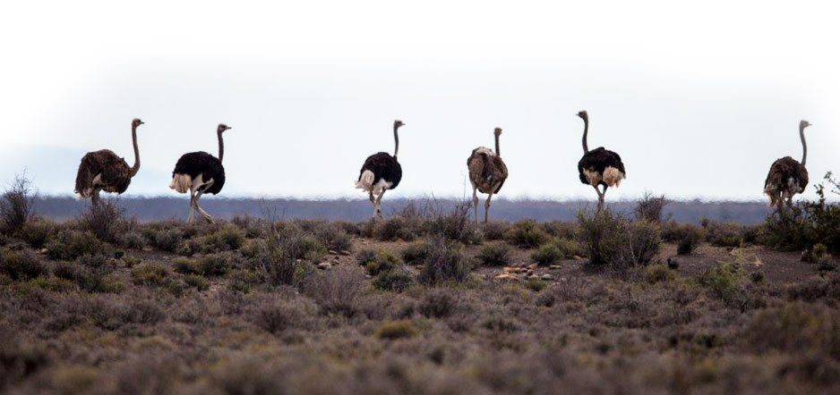 Ostriches on the farm