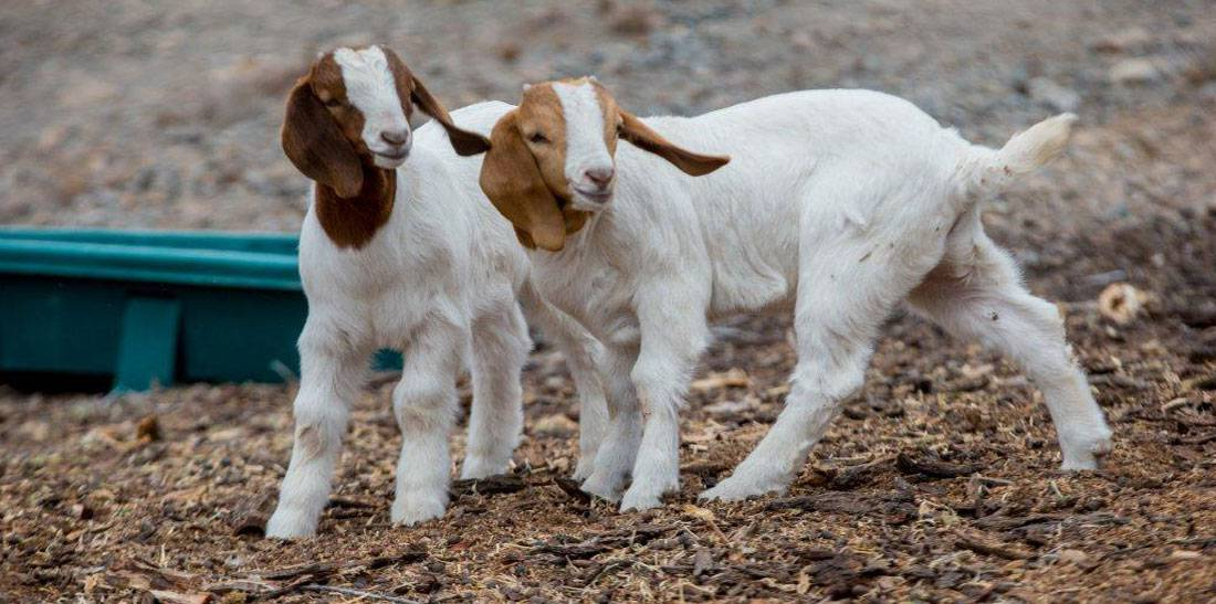 Baby goats at Olive Grove Guest Farm™